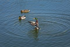 Adult ducks in river or lake water. The mallard, adult female and male wild duck standing, swimming and playing in river or lake water royalty free stock images