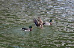 Adult ducks in river or lake water. The mallard, adult female and male wild duck standing, swimming and playing in river or lake water stock images