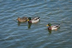 Adult ducks in river or lake water. The mallard, adult female and male wild ducks swimming in river or lake water royalty free stock photography
