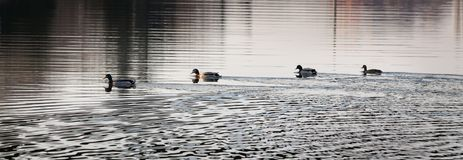 Adult ducks in river or lake water. The mallard, adult female and male wild ducks swimming in river or lake water royalty free stock images