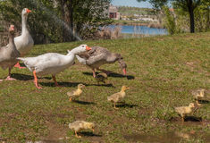 The adult ducks are taking care of the little ducks, no worires. Stock Photos