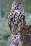Adult eagle owl Royalty Free Stock Photography