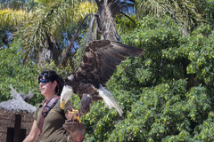 Adult eagle siting on zoo worker's hand. TENERIFE, JUNGLE PARK, august 2015- Adult white-tailed american eagle siting on zoo worker's hand on Birds show Royalty Free Stock Photos