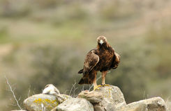 Adult eagle watching its prey Royalty Free Stock Photos