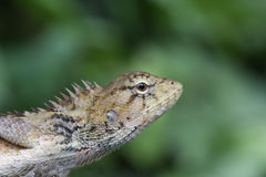 Adult eastern lizard Stock Photos