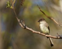 Eastern Phoebe. An adult Eastern Phoebe perched in the sun in Quabbin Reservoir, Massachusetts Royalty Free Stock Image