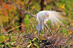 Adult egret bird in breeding plumage in nest Royalty Free Stock Photos