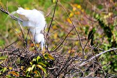 Adult egret bird in breeding plumage nesting Royalty Free Stock Photo