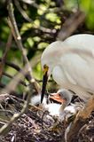 Adult egret with chicks. Adult egret watching over baby chicks Stock Images