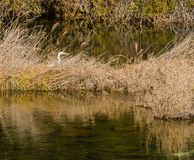 Adult egret hiding in tall brown reeds. Next to a small river with clear still water Royalty Free Stock Image