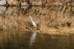 Adult egret standing in tall brown grass. Looking for fish in small river with still water Royalty Free Stock Photography