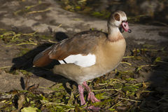 Adult Egyptian Goose, Alopochen aegyptiacus. The adult Egyptian Goose, Alopochen aegyptiacus Stock Photography