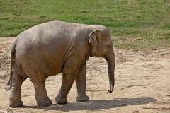 Adult elephant. Royalty Free Stock Image