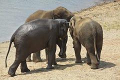 Adult elephant. Royalty Free Stock Photo