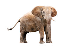 Adult Elephant Royalty Free Stock Photo