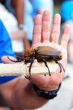 Adult Elephant Beetle stock photos