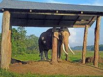 Adult elephant in the breeding centre Chitwan National Park Royalty Free Stock Images