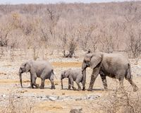 Elephant family strolling through desert royalty free stock photos