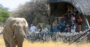 Adult Elephant bull at Etosha National Park. Elephant at waterhole in Etosha National Park. In the background some tourists are visible sitting at a look out stock photography