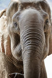 Adult elephant face. royalty free stock photography