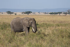 An adult elephant grazing Royalty Free Stock Image