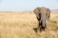 Adult elephant in the Masai Mara Royalty Free Stock Photo