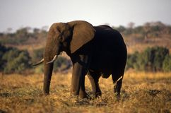Adult elephant on plain. Stock Photos