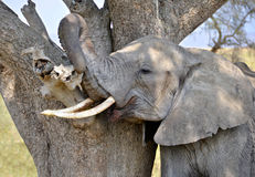 Adult Elephant scratching himself against tree Royalty Free Stock Photography