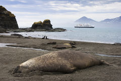 Adult Elephant Seal in South Georgia Royalty Free Stock Images