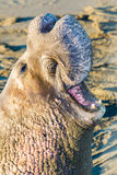 Adult Elephant Seal Stock Images