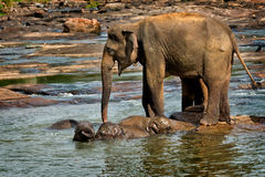 Adult elephant supervise yougsters during bathtime Royalty Free Stock Photos
