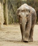 Adult Elephant. Walking towards camera with wood wall in background Stock Photo