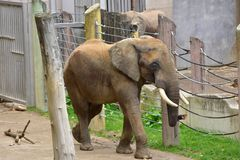 Elephant in Vienna zoo. An adult elephant walks in his fence. Vienna zoo, Austria, october 2017 stock photos