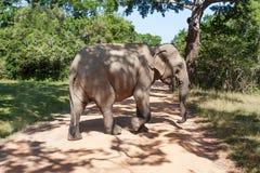 Adult elephant Stock Photos