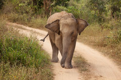 Adult elephant Stock Images