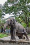 Adult Elephant Stock Images
