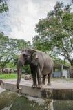 Adult Elephant Stock Image
