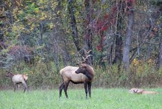 Adult Elk Buck and Young Does Royalty Free Stock Images