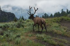 Wild elk bull. Adult elk bull crossing mountains in Wyoming wilderness Royalty Free Stock Photography