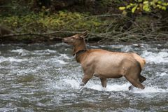 Adult Elk Doe Royalty Free Stock Photography