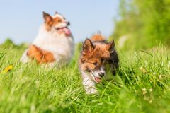 Adult Elo Dog And An Elo Puppy On A Meadow Stock Images