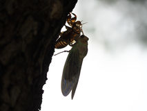 Adult emergence of cicada Royalty Free Stock Images