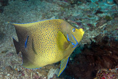 Adult Emperor angel fish  portrait close up in maldives Stock Photography
