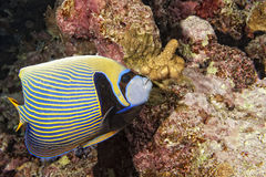 Adult Emperor angel fish Royalty Free Stock Images
