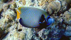 Adult emperor angelfish, Maldives Stock Photos