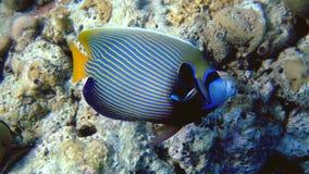 Adult emperor angelfish, Maldives stock photos