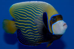 Adult Emperor Angelfish. Pomacanthus imperator on blue background Stock Photo