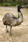 Adult Emu (Dromaius Novaehollandiae) Royalty Free Stock Photos