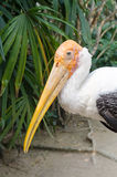 The Adult endangered milky stork. Stock Photography