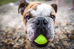 Adult english bulldog stock image